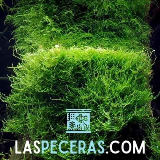 musgo de java - plantas de acuario para principiantes