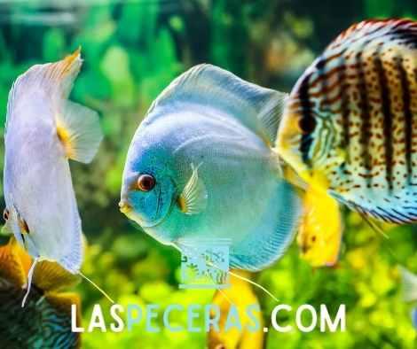 peces en acuario tratamiento de inmersión para peces