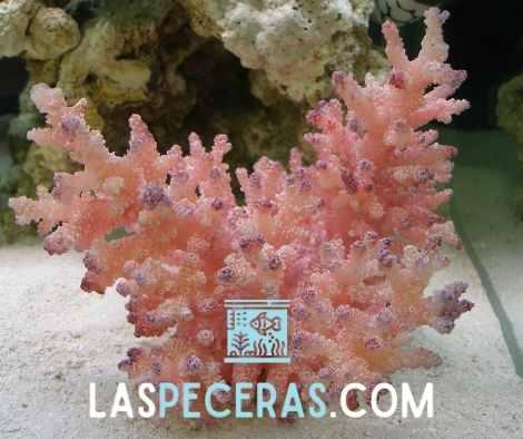 tratamiento de inmersión de coral