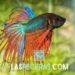 pez betta en acuario