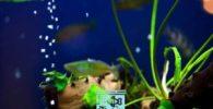 anclar plantas de acuario vivas