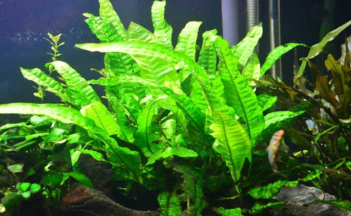 Tridente Microsorum Pteropus