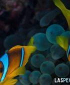 cuantos huevos pone el pez payaso