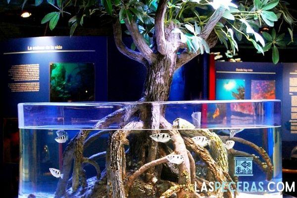 Exposición de un manglar enorme en un acuario de agua salada